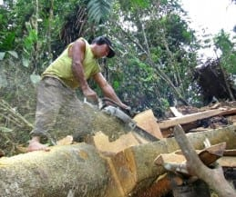 Non Sustainable harvesting with freehand chainsaw milling.