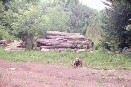 Stack of Cottonwood logs, and Wilkins Tree Farm dog, Jack.