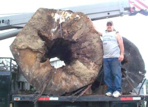 Mark Allen with a giant Tulip Poplar log.