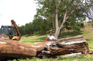 Mike Pezzoli salvaging a large Oak for milling.