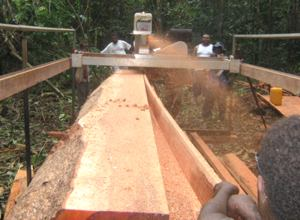 Walebarasialia Tobata employees cutting a Pometia log.