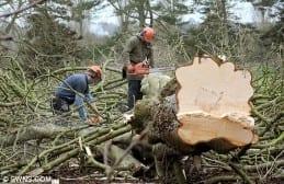 Trimming logs at Barrington Court
